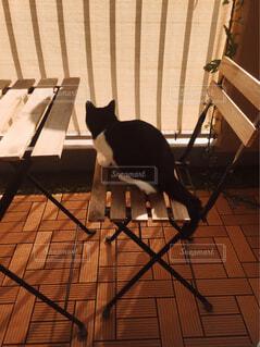 猫,動物,屋内,白,静か,夕焼け,黒,ベランダ,夕方,床,佇む,ハチワレ,ウッド