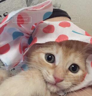 猫,動物,屋内,かわいい,カラフル,ペット,子猫,小さい,かぶりもの,茶トラ,ドット,甘えん坊,キャンディ,しましま,kitty