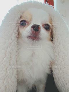 犬,動物,チワワ,お部屋,屋内,白,かわいい,ペット,小さい,毛布,カメラ目線,つぶらな瞳,パーティーカラー
