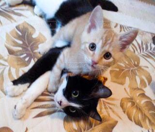 猫,動物,屋内,白,かわいい,黒,茶色,2匹,ペット,子猫,可愛い,茶トラ,大好き,ハチワレ,しましま,多頭飼い,ネコ科,じゃれあう,仔猫達
