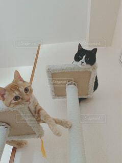 キャットタワーで寛ぐ2匹の猫達の写真・画像素材[4370858]