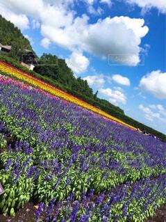 自然,風景,空,花,屋外,雲,晴れ,紫,ラベンダー,大自然,旅行,青い,広い,旅先,香り,ラベンダー畑,いい香り,天気いい
