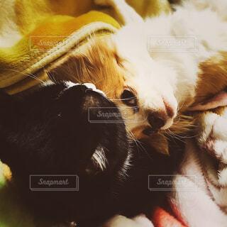 犬,猫,動物,チワワ,お部屋,白,黒,景色,ペット,癒し,可愛い,毛布,カメラ目線,寛ぎ,茶,ハチワレ,レア写真,ペットフォト