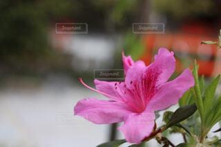 花,ピンク,草木,ユリ,ブルーム,インスタ映え,フローラ