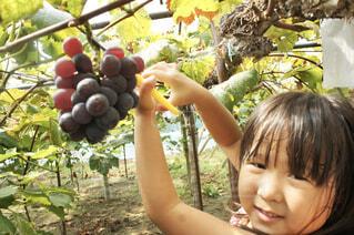 ぶどうの収穫の写真・画像素材[4451066]