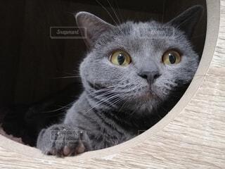猫,動物,景色,ねこ,一匹,グレー,キャットタワー,目,見つめる,穴,ブリティッシュショートヘア,灰,のぞく,ネコ科,ネコ
