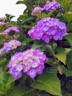 紫陽花の写真・画像素材[4557044]