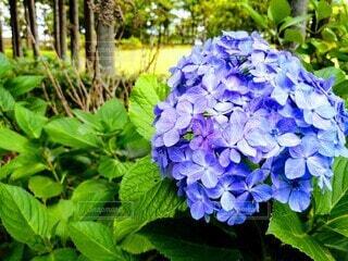 紫陽花の写真・画像素材[4565163]
