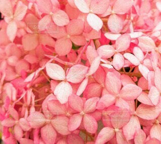 桃色紫陽花の写真・画像素材[4601621]