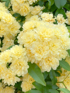 花,春,花束,黄色,バラ,葉,花びら,満開,お花見,幸福,木香薔薇,柔らか,棘がない
