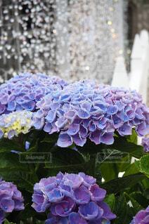 花,雨,屋外,緑,あじさい,青,紫,光,紫陽花,キラキラ,ブルー,グリーン,梅雨,フローラ