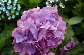 花,雨,屋外,ピンク,緑,あじさい,紫,紫陽花,グリーン,梅雨,雨粒,草木,ブルーム,フローラ