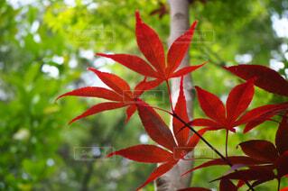 秋,紅葉,森林,森,緑,赤,葉っぱ,葉,もみじ,影,紅,樹木,グリーン,草木,真紅,紅色