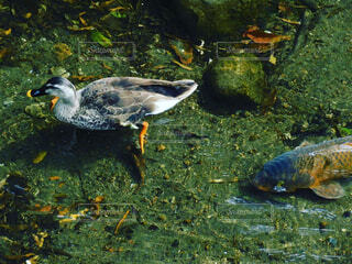 動物,鳥,魚,屋外,黒,水面,草,カメ