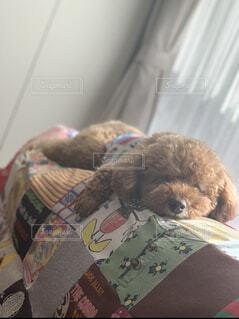 犬,動物,屋内,茶色,トイプードル,お昼寝