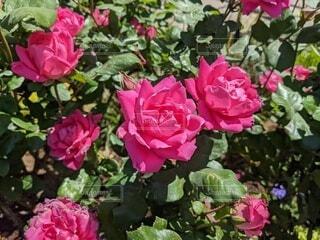 バラのアップの写真・画像素材[4366925]