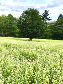 花,屋外,緑,景色,草,樹木,蕎麦,蕎麦の花