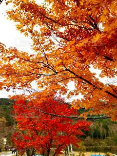 キャンプ場の紅葉の写真・画像素材[4378973]