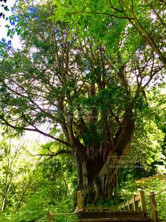 けもの道の先の大木の写真・画像素材[4382276]