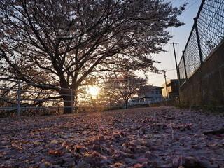 風景,空,春,夕日,桜,屋外,ピンク,青空,散歩,樹木,逆光,町中,散り桜
