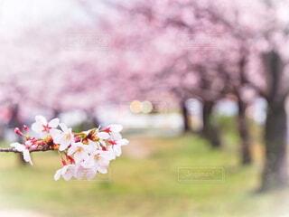 風景,春,夕日,桜,芝生,屋外,ピンク,散歩,桜並木,樹木,クローズアップ,町中