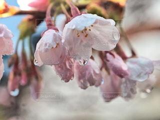 風景,空,春,夕日,桜,雨,屋外,ピンク,青空,散歩,樹木,雨の日,町中,雨雫,濡れた桜