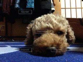 犬,動物,屋内,かわいい,子犬,プードル,テリア