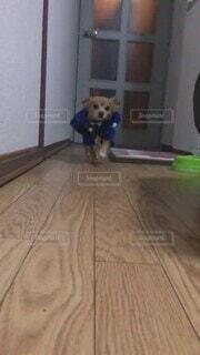 犬,建物,動物,屋内,足,走る,床,面白い,警察,耳,ベッド,揺れる,スローモーション,パピチワ,振り