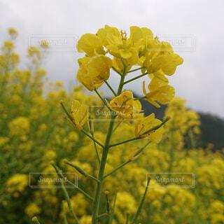 花,春,黄色,一輪,菜の花,樹木,畑,草木,フローラ