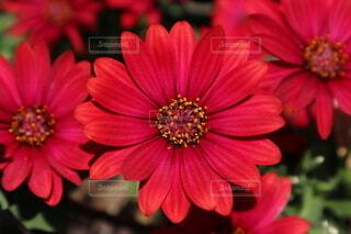自然,風景,花,屋外,植物,赤,景色,花びら,鮮やか,デイジー,レッド,真っ赤,クローズアップ,草木,ブルーム,存在感,情熱的,アフリカンデージー,デージー,ジニア,アフリカ デイジー,フローラ