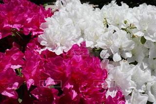 ピンク&ホワイト ツツジの花の写真・画像素材[4372489]