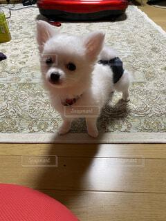 犬,動物,チワワ,白,かわいい,ペット,床,子犬