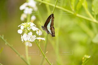 花,動物,昆虫,蝶,アオスジアゲハ,花粉媒介,蛾や蝶