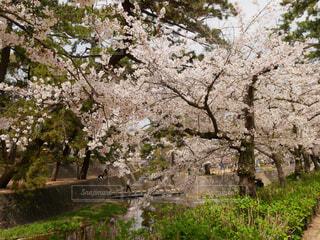 自然,花,春,桜,屋外,川,草,樹木,草木,桜の花,さくら,ブロッサム