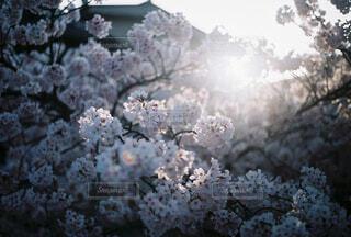 自然,花,桜,葉