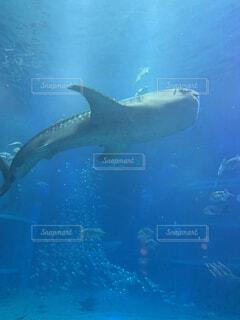 動物,魚,屋外,イルカ,水族館,水面,葉,泳ぐ,水中,ダイビング,海獣,クジラ,スケート,フィン,バンドウイルカ,極,じんべえざめ,海洋生物学,ハンドウイルカ,クジラ目