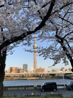 風景,空,花,春,屋外,スカイツリー,川,樹木,高層ビル,桜の花,さくら,ブロッサム