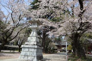 春,桜,木,神社,灯籠,ぽかぽか日和