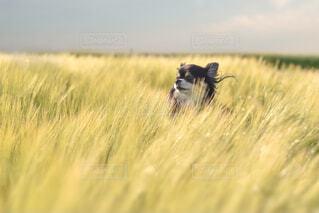 風景,動物,チワワ,屋外,麦畑,草,愛犬