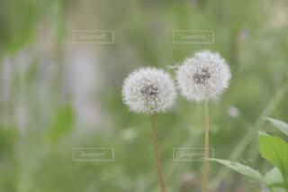 花,植物,草木,タンポポ