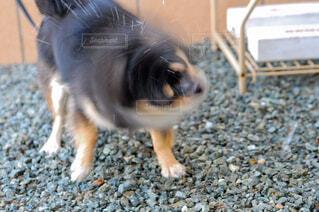犬,動物,チワワ,黒,ペット,愛犬,ドリル犬