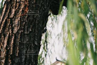 木とセミのクローズアップの写真・画像素材[4360003]