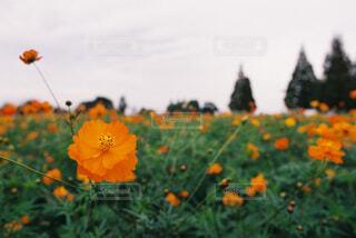 オレンジ色のコスモスの写真・画像素材[4360039]
