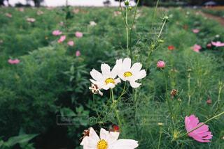 白いコスモスの写真・画像素材[4360051]