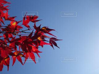 紅葉した紅葉の写真・画像素材[4362814]