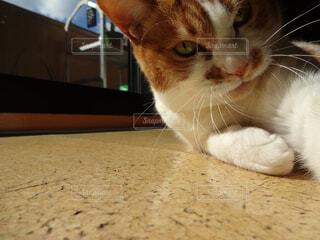 自撮りする猫の写真・画像素材[4362826]