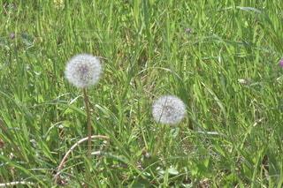 風景,花,屋外,景色,草,たんぽぽ,綿毛,草木,タンポポ