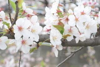 花,春,桜,草木,桜の花,さくら,ブルーム,ブロッサム