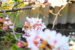 花,春,桜,屋外,景色,樹木,ポートレート,草木,さくら,ブロッサム,ポートレート撮影