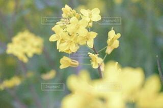 花,春,屋外,黄色,景色,ポートレート,草木,ポートレート撮影,フローラ
